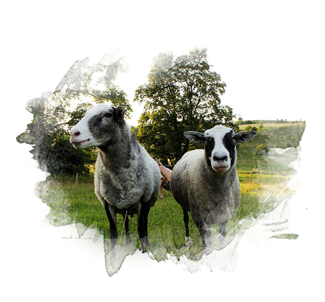 Rams Romka and Dolis